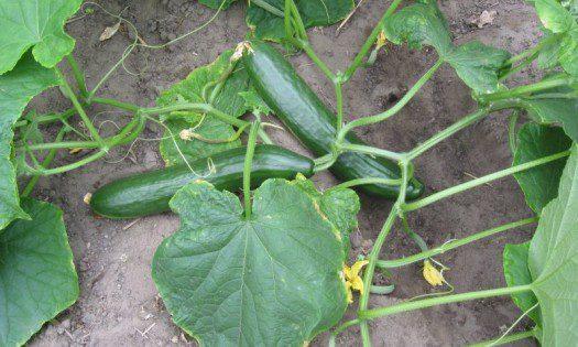 Komkommer_plant